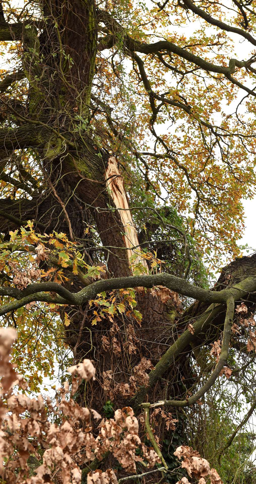 Part of a very large tree has fallen across the gardens of No 4 and No 2 Parkway, Gaywood