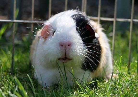 Guinea pigs may need moving around the garden as the sun moves to ensure they remain in the shade