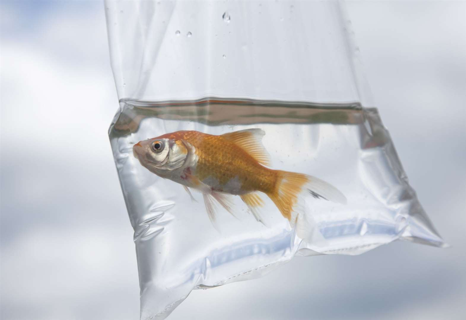 Giving away goldfish in a bag is not illegal in England or Wales