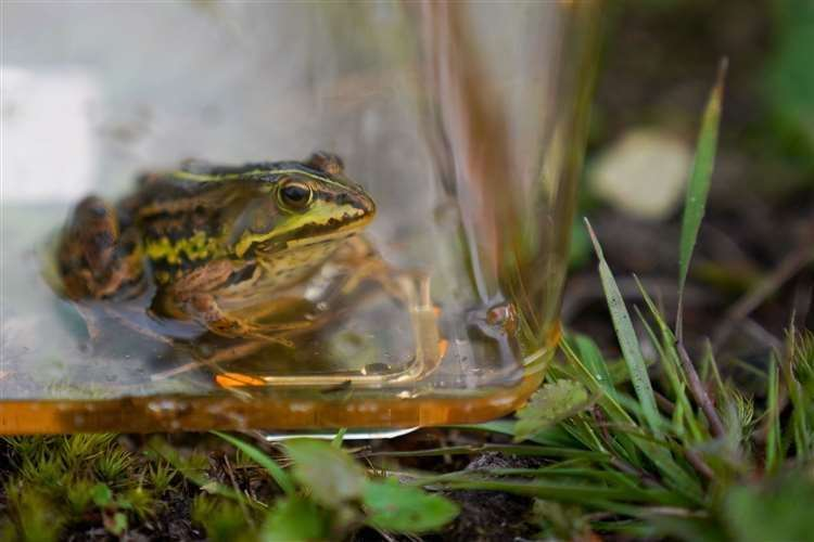 The northern pool frog went extinct in England in the mid-1990s but has since been reintroduced (Jacob King/ PA) (49664472)