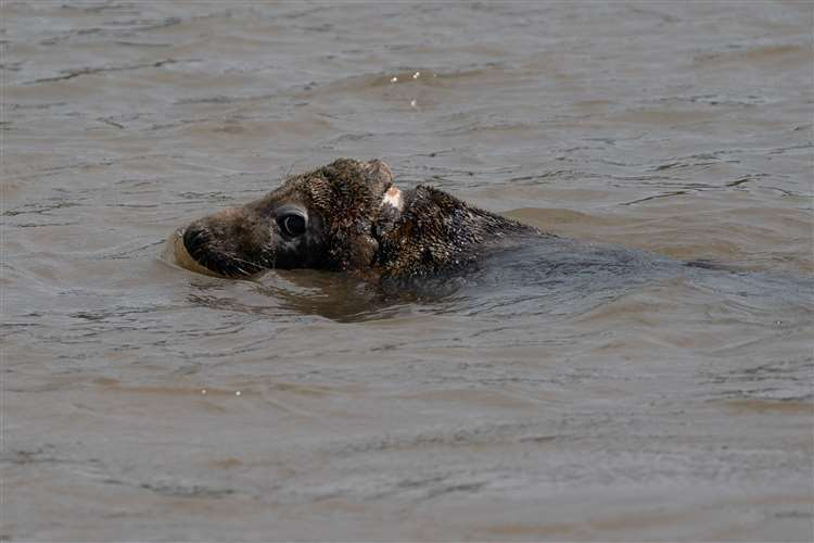 The seal was nurtured back to health by the RSPCA (Joe Giddens/PA)