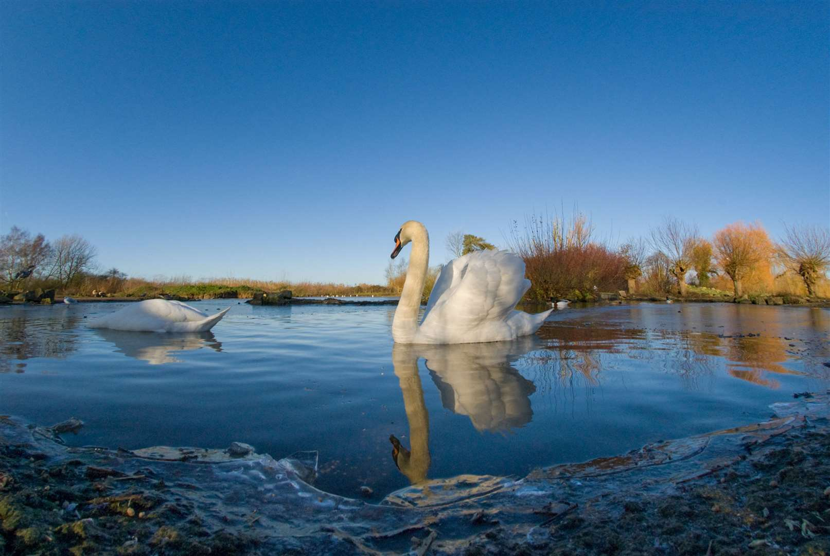 A pair of mute swans on a lake. Pictures: WWT (44234071)