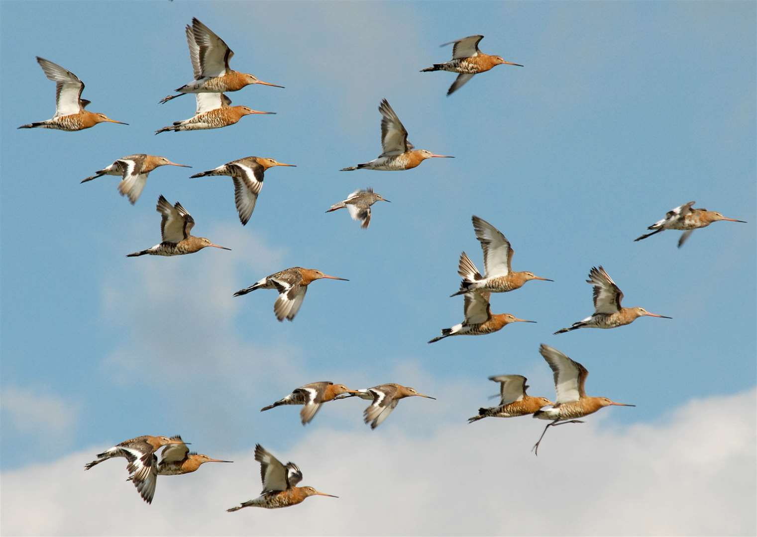 Flock of Black-tailed Godwits. Pictures: WWT (44234062)