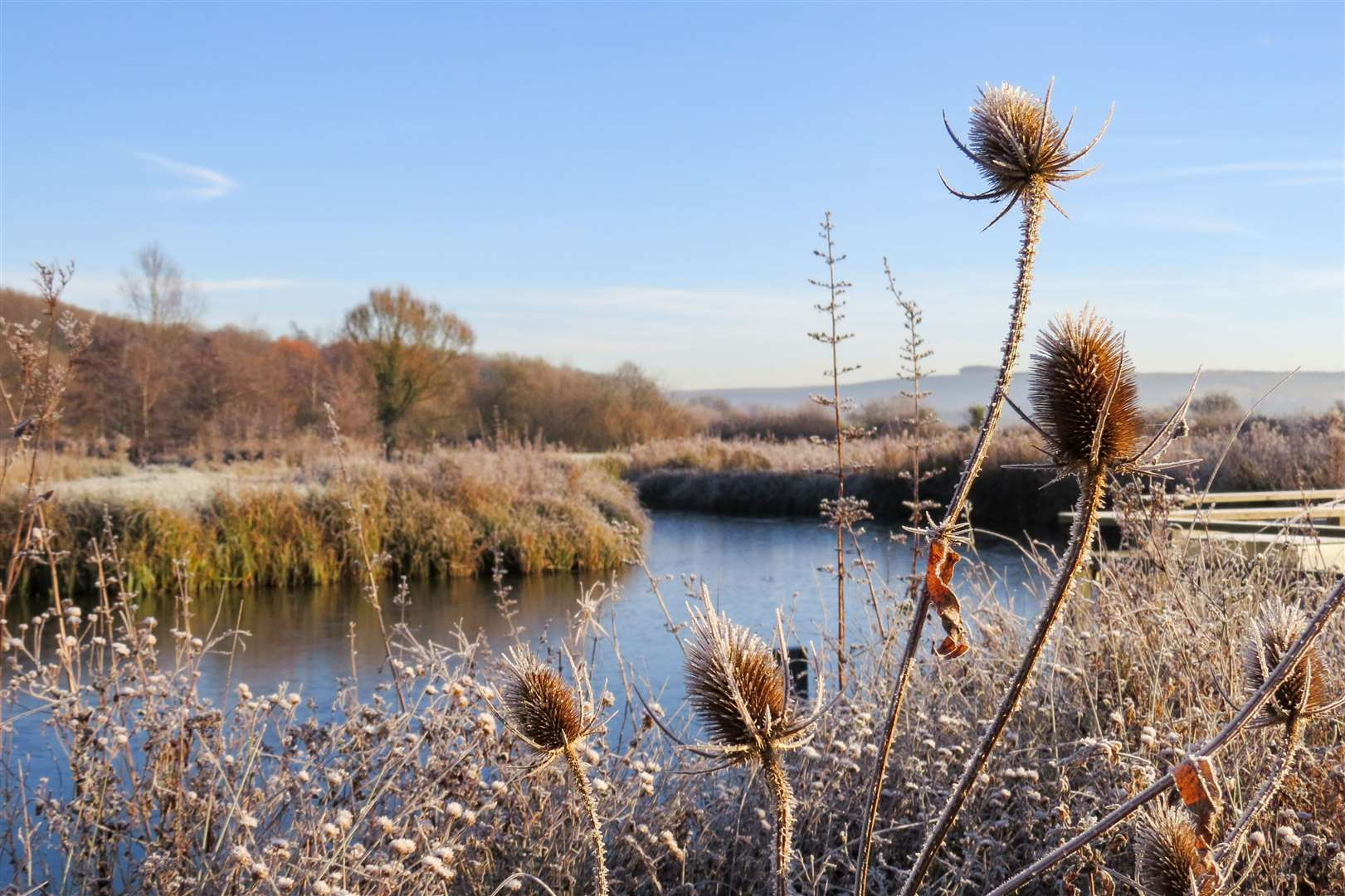 Some frozen thistles. Pictures: WWT (44234073)